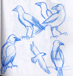 Crow research for The Crow and the Pitcher